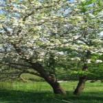 drvo u cvjetu