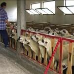 Фарма оваца